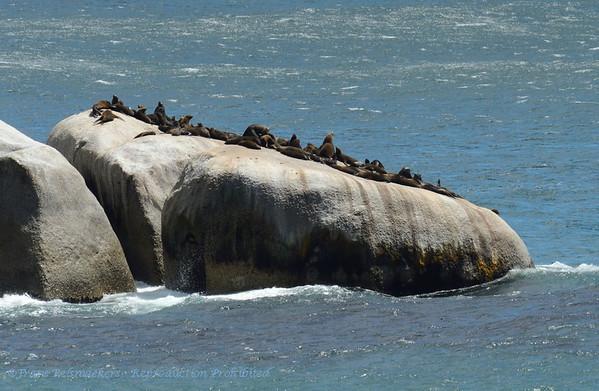 Kaapse pelsrob; SouthAfrica; Kaapse pelsrob; ZuidAfrikaanse zeebeer; Arctocephalus pusillus pusillu; Südafrikanischer Seebär; Otarie à fourrure d'Afrique du Sud