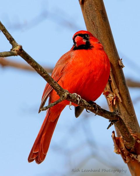 Male Cardinal at Clark Botanic Garden.
