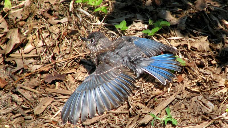 bluebird_fledgling_8482.jpg