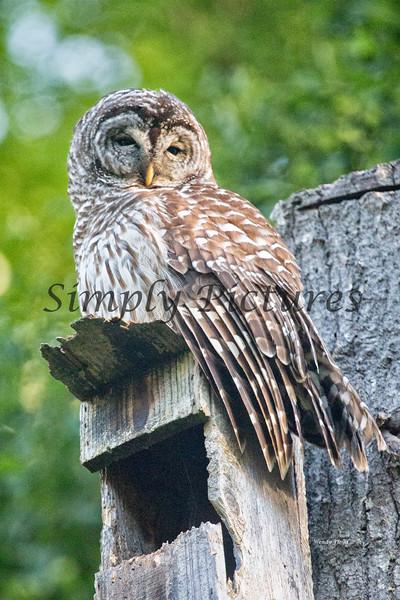 Owl  (39)