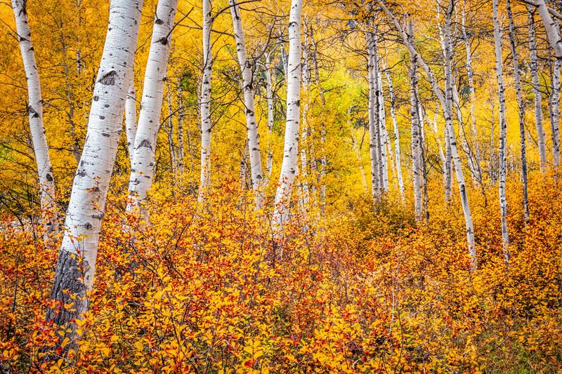 Blazing Aspens, Colorado