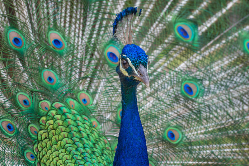 PeacockYard24May2016-223-Edit.jpg
