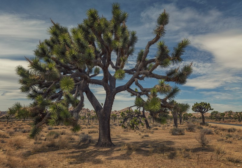 Ancient Joshua Tree - Joshua Tree National Park.jpg