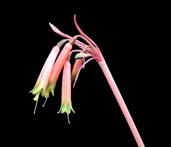 Eustephia darwinii.jpg