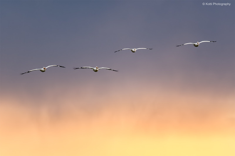 Pelicans on Fire