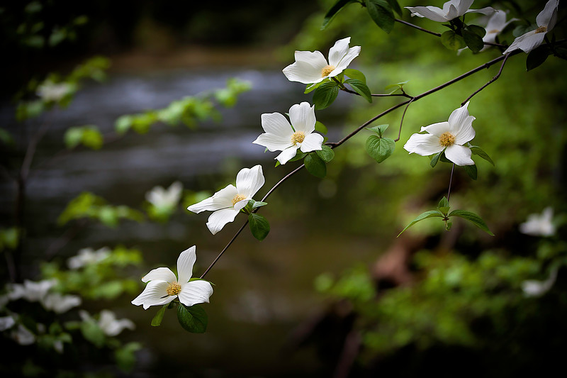 Dogwood flowers.jpg