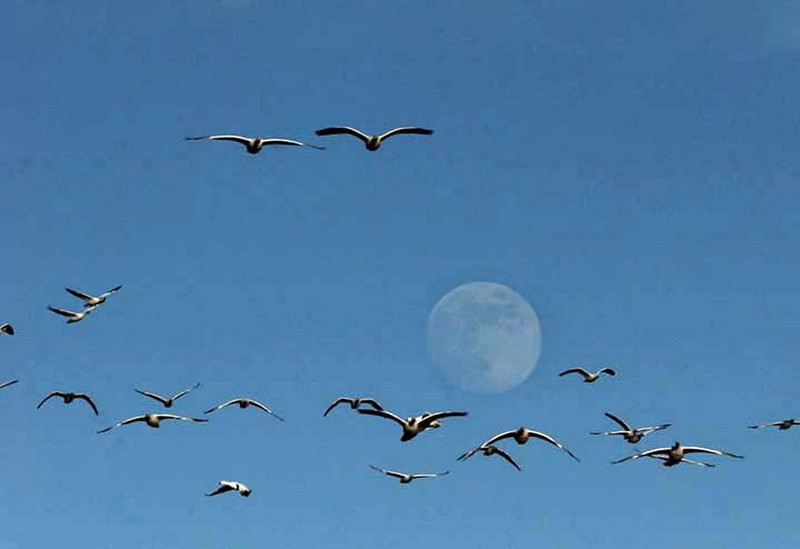 Snow geese with moon, New Mexico