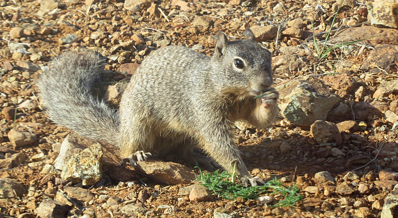 Rock Squirrel eating Russian Thistle.jpg