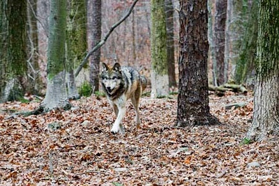 Lakota Wolf Preserve   NJ