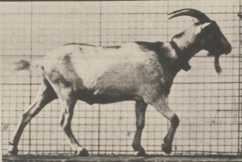 Goat walking