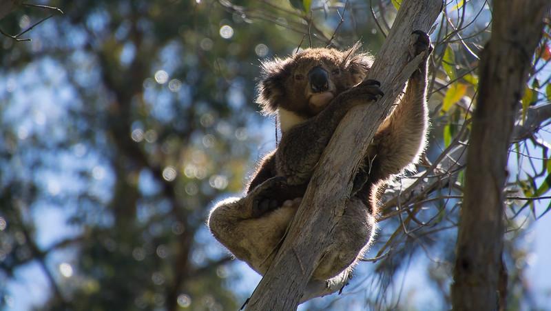 The koala dad