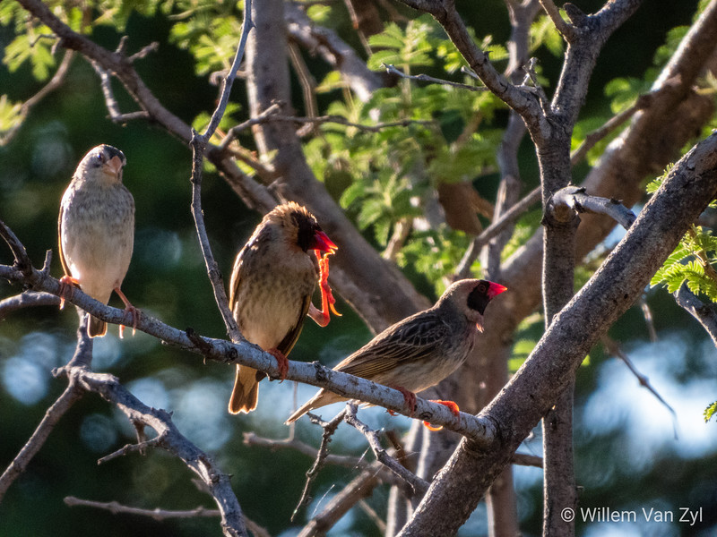20190219 Red-billed Quelia (Quelia quelia) near Thabazimbi, Limpopo