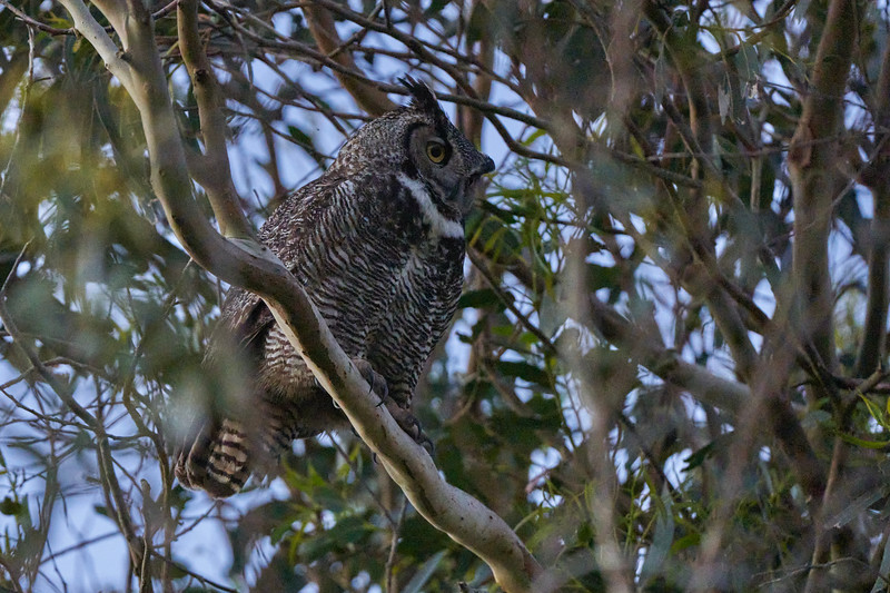 Great Horned Owl in Point Reyes