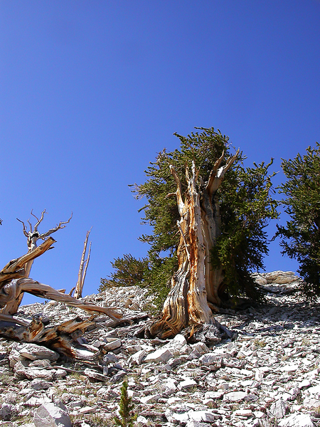 White Mountains, California.  Summer 2009.