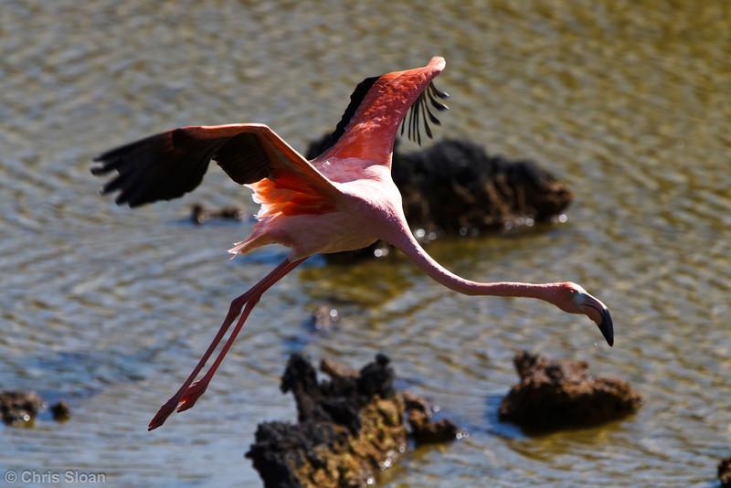 American Flamingo at Punta Moreno, Isabela, Galapagos, Ecuador (11-23-2011) - 834.jpg