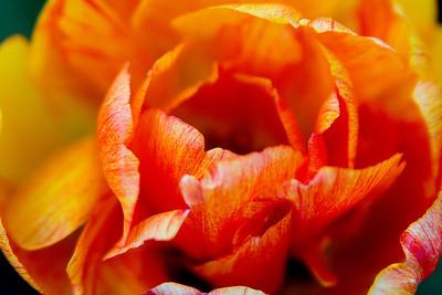2011-05-08 Tulip Festival