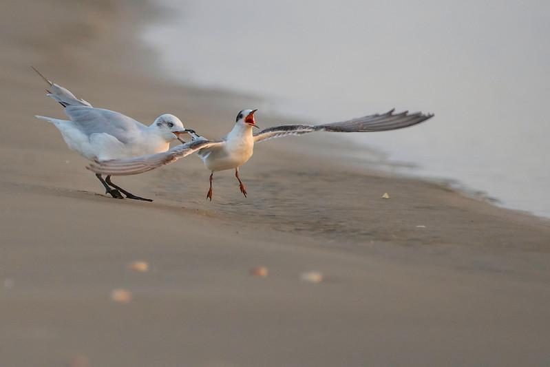 Common Tern & Gull
