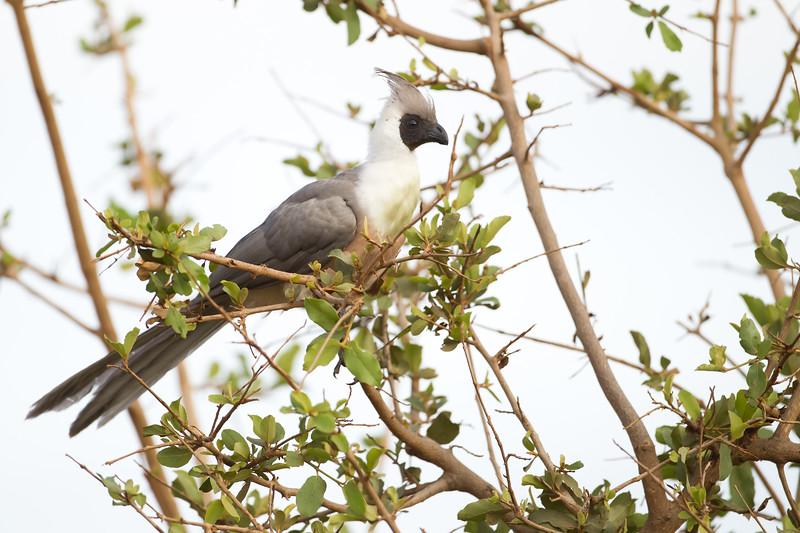 Bare-faced Go-away-bird - Tarangire National Park, Tanzania