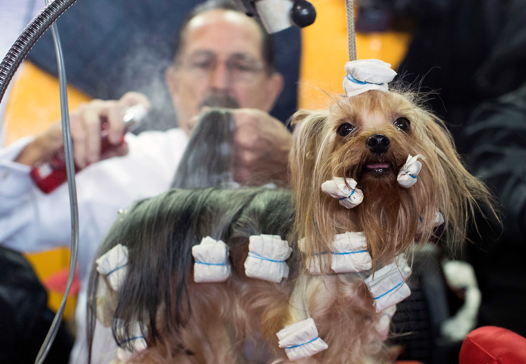 . Frankie Larrieu grooms Bella, a Yorkshire terrier from Moscow during the Westminster Kennel Club Dog Show, Monday, Feb. 13, 2017, in New York. (AP Photo/Mary Altaffer)