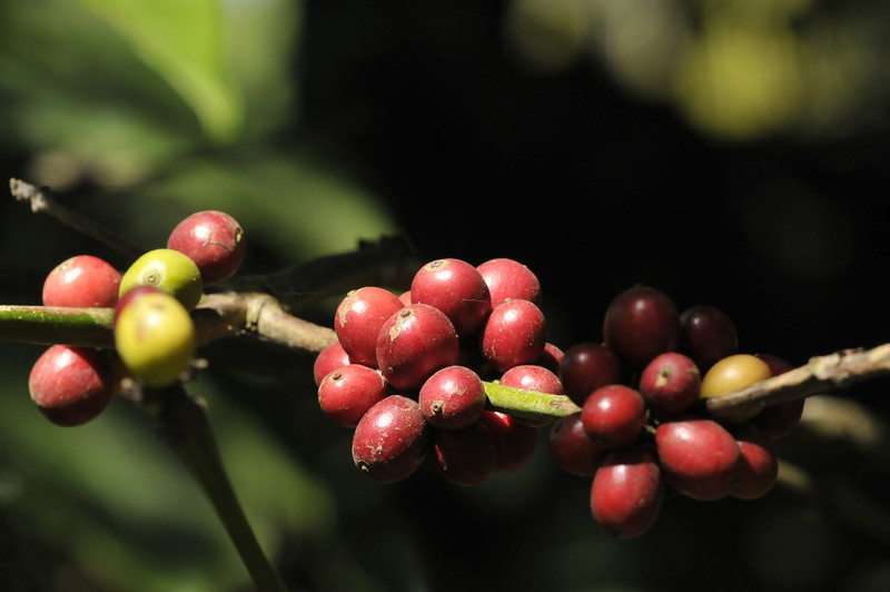 Coffee beans getting close to harvest.