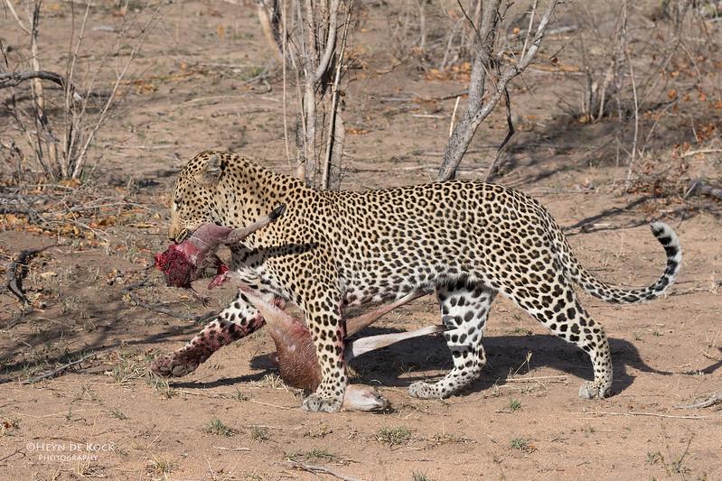 Leopard (Anderson), Sabi Sands (EP), SA, Oct 2016-1.jpg