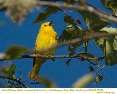 YellowWarblerM75753.jpg