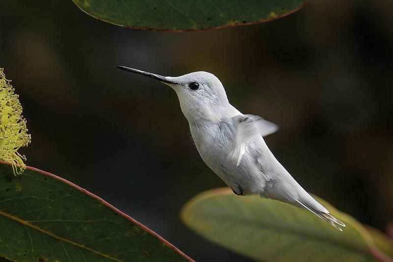 Leucistic Hummingbird - Anna's Hummingbird