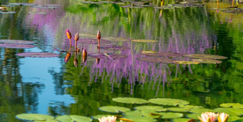 Lily  Pond 41