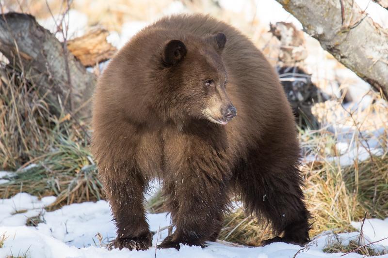 Tahoe Bear Fall 2020-18.jpg