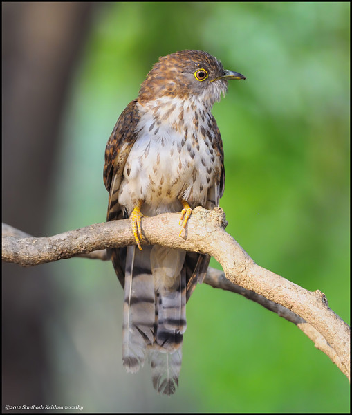 Common Hawk Cuckoo.....a portrait....
