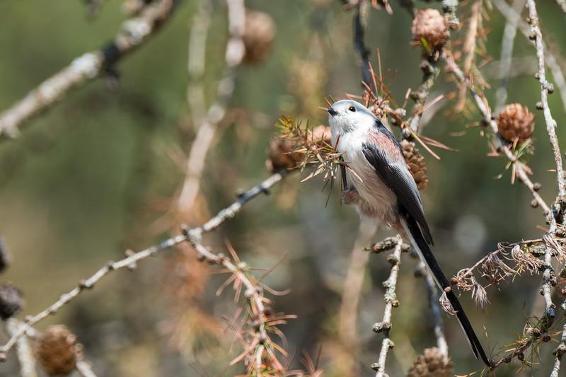 raniuszek | long-tailed tit | aegithalos caudatus