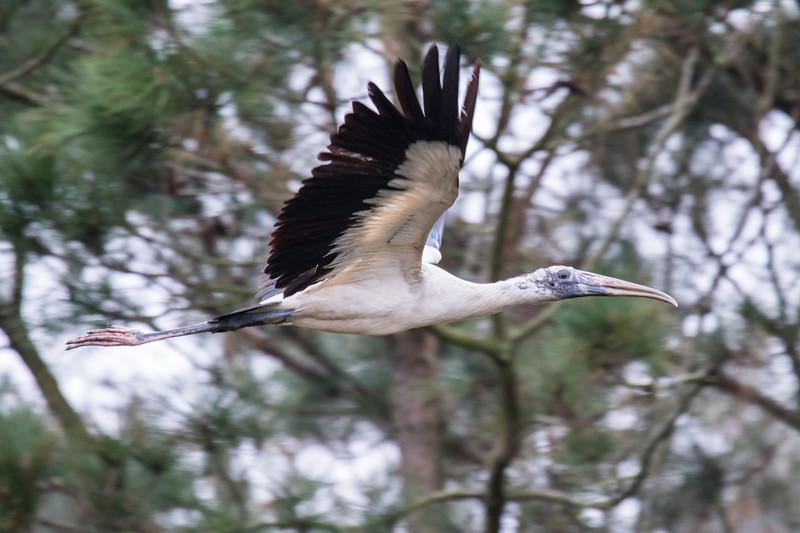 Wood Stork SC 2019-3.jpg