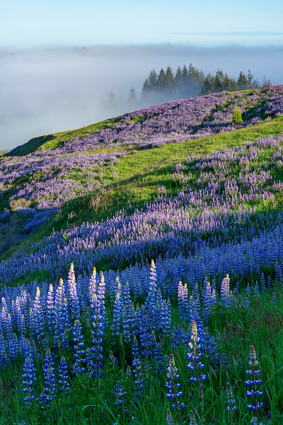 Lupine, Fog, and Redwoods