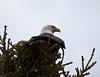 Bald Eagle - Jasper