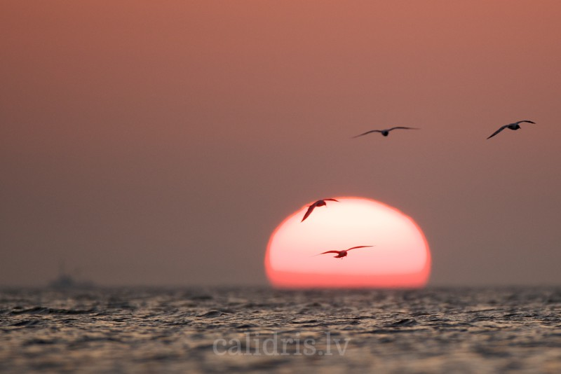 Black-headed Gulls hover over a sea in dawn light