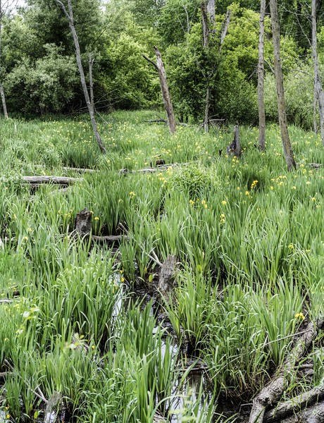 dsc_1714-1717 Marsh w Lillies  PS- LL NEF_Panorama1.jpg