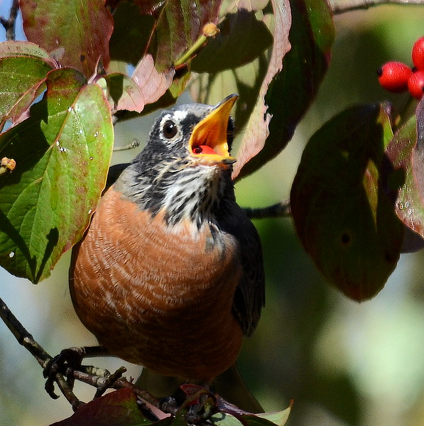 #1338  American Robin eating dogwood berries