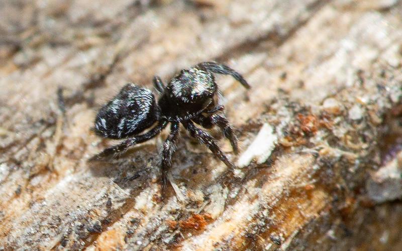 jumping spider Fringed Gentian Bog Sax-Zim Bog MN  IMG_0715.jpg