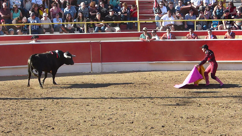 Video: A THIRD attempt is made to catch and subdue the bull by hand, and the bull wins again!