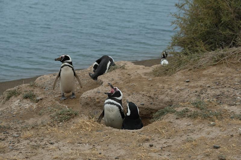 RAWR Penguin