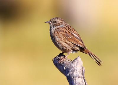 Dunnocks (Hedge Sparrow)