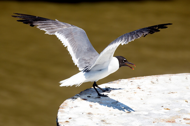 A Laughing Gull lands on the pier next to our Bolivar Ferry.