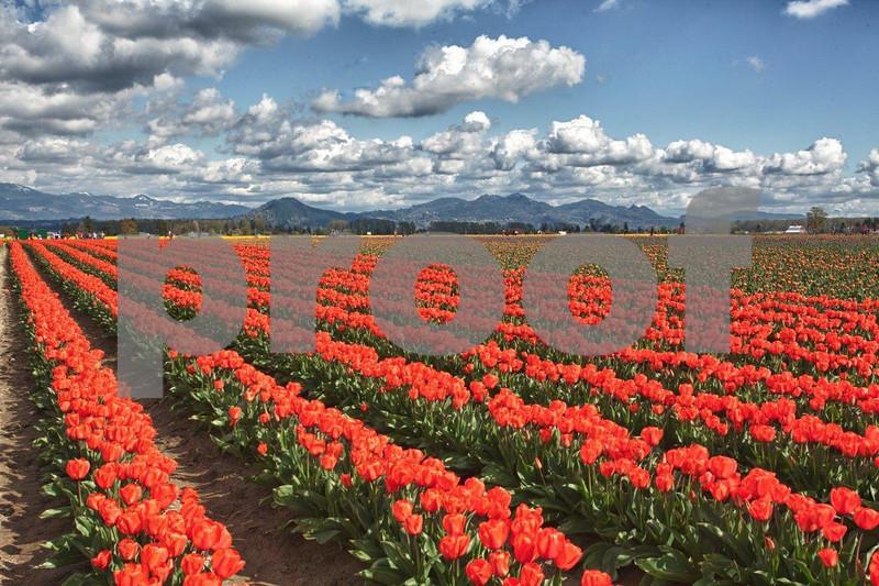Tulips, Rosa Garte 1024_HDR.jpg
