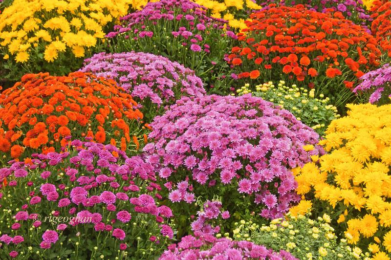 Oct 6_ChrysanthemumGarden_9764.jpg