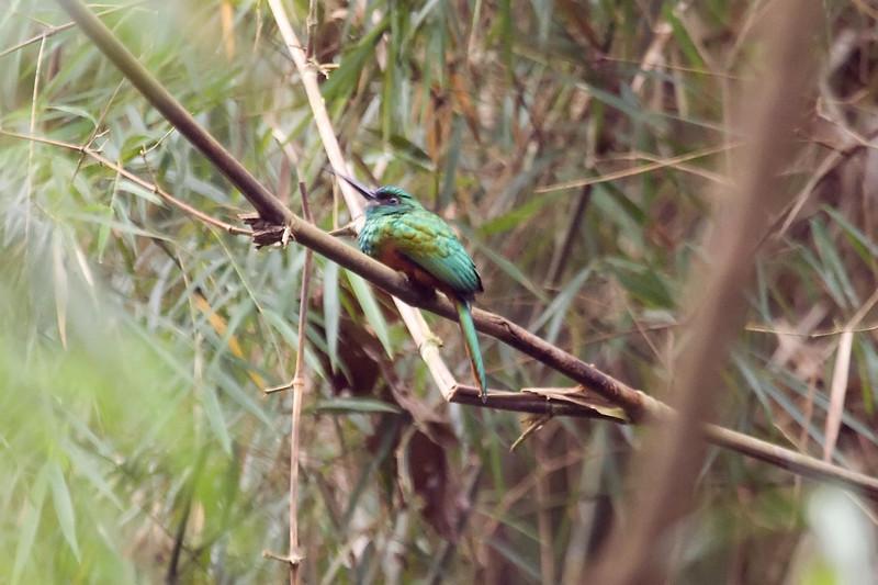 Bluish-fronted Jacamar at Cocha Nueva near Manu Wildlife Center, Peru (2008-07-11).psd
