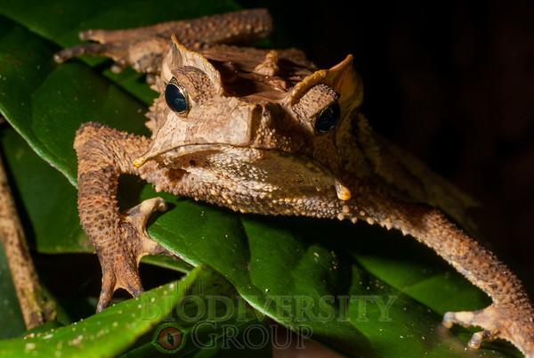 Toads (Bufonidae)