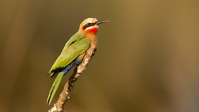 White-fronted Bee-eater, Merops bullockoides, Milwane Wildlife Sancturary, Swaziland.
