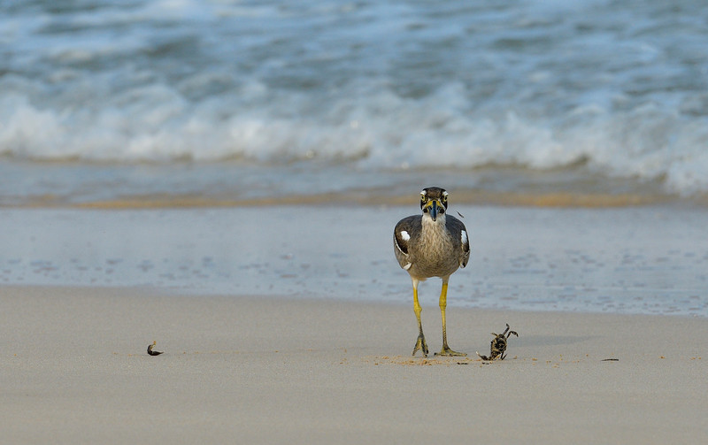 Beach-Thick-knee-with-crab-little-andaman-9.jpg