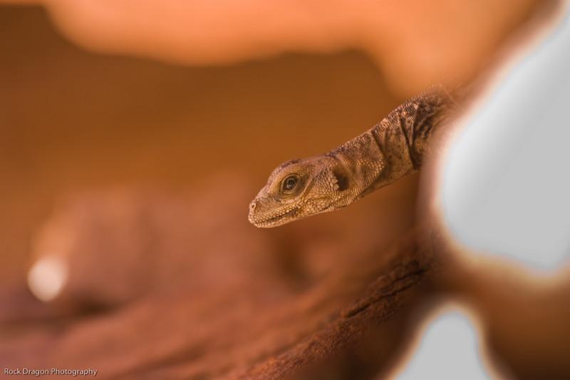 Lizard, Redrock Canyon, Nevada U.S.