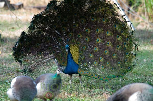Galliformes (Fowl)